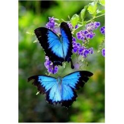 Две бабочки-парусник