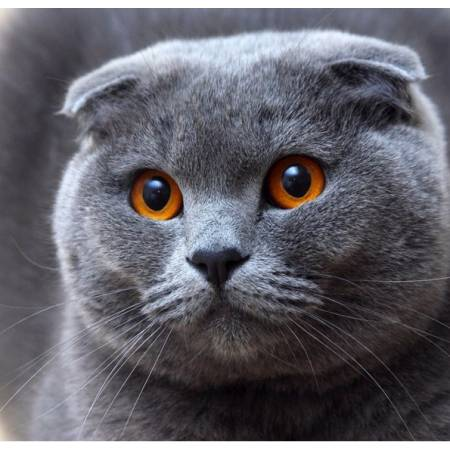 Вислоухий кот (FS052), DIY