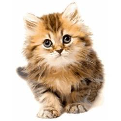 Сероглазый котик