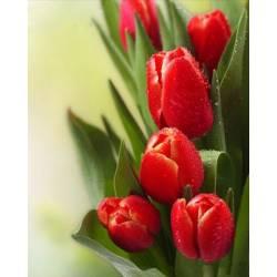 Тюльпаны для родного человека